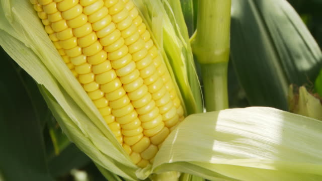 hd: corn on the cob - corn cob stock videos & royalty-free footage