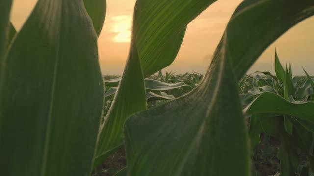 vídeos de stock, filmes e b-roll de plantas de milho de ds na cena enevoada do nascer do sol - ensolarado