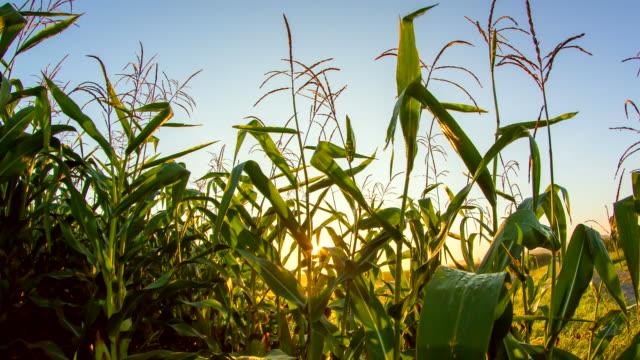 T/L Corn Plants In The Sunrise