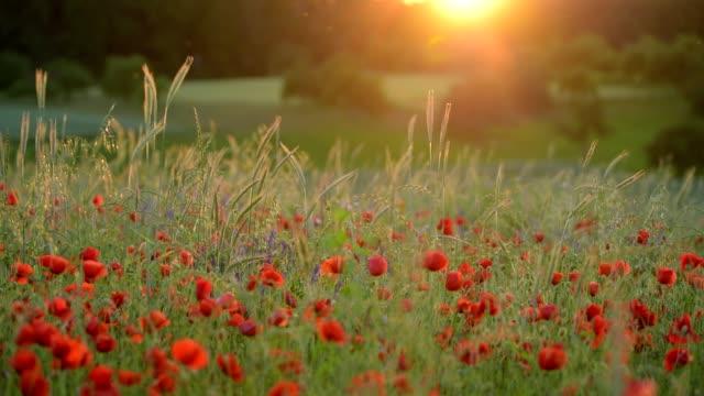 corn poppy field at sunset - wildblume stock-videos und b-roll-filmmaterial
