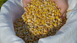 Corn Seed in Farmer Hands, Agriculture. Slow motion Farmer Hands Cupping Maize Kernels in Field After Harvest is Done. Closeup Farm Worker holding maize harvest cereal plant. Golden Corn Growing