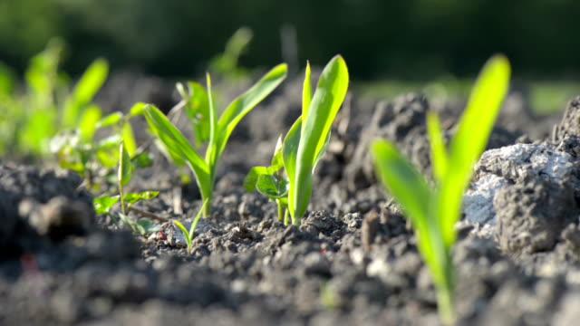 vidéos et rushes de graines de maïs - cereal plant