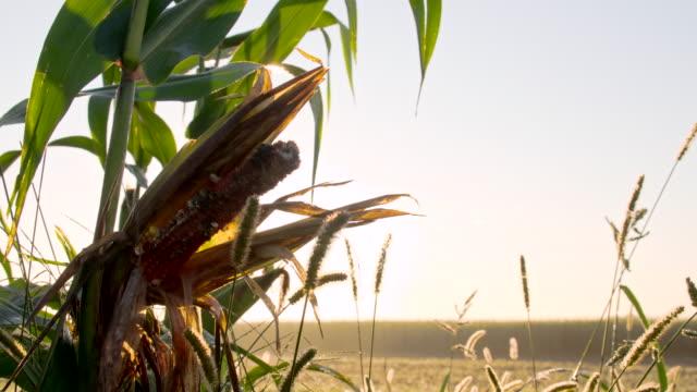 vídeos y material grabado en eventos de stock de ms ds maíz smut - tallo