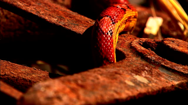 a corn snake slithers around on rusty equipment. - bristol england stock videos & royalty-free footage