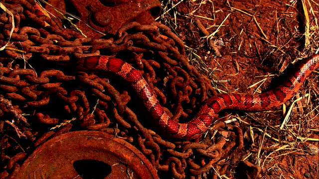 a corn snake slithers over rusty chains. - bristol england stock videos & royalty-free footage