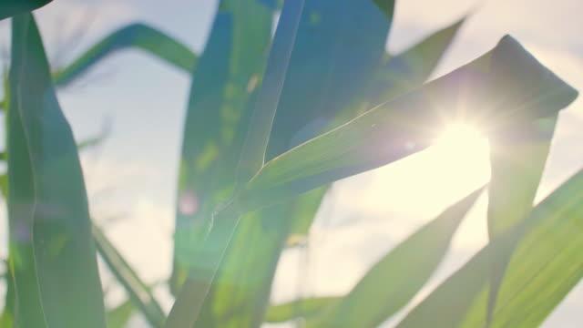 Corn stalk/ Debica/ Poland
