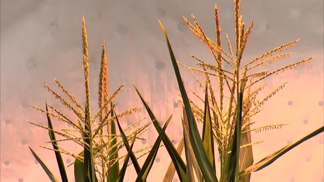 corn tassels blossom on top of cornstalks. - tassel stock videos & royalty-free footage