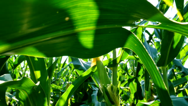corn tracking forward - indiana stock videos & royalty-free footage