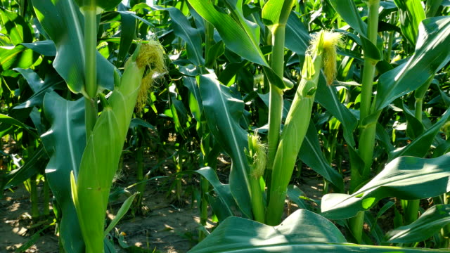corn tracking wide - plant stem stock videos & royalty-free footage