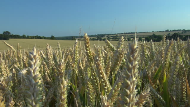 cu, corn waving in wind, hertfordshire, england - maize stock videos & royalty-free footage