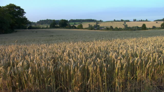 MS, Corn waving in wind, Hertfordshire, England