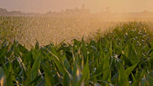 SLO MO Cornfield irrigated by a rain gun