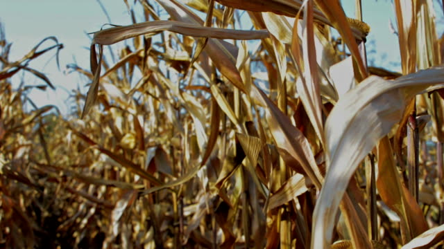 vídeos y material grabado en eventos de stock de cornfield - tallo