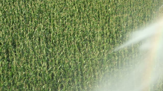Cornfield with Passing Pivot Irrigations Sprinkler