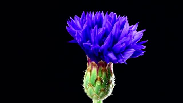 vídeos de stock e filmes b-roll de centáurea desabrochando-centaurea cyanus - time lapse de desabrochar