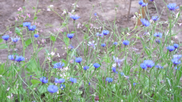 cornflower - lily family stock videos & royalty-free footage