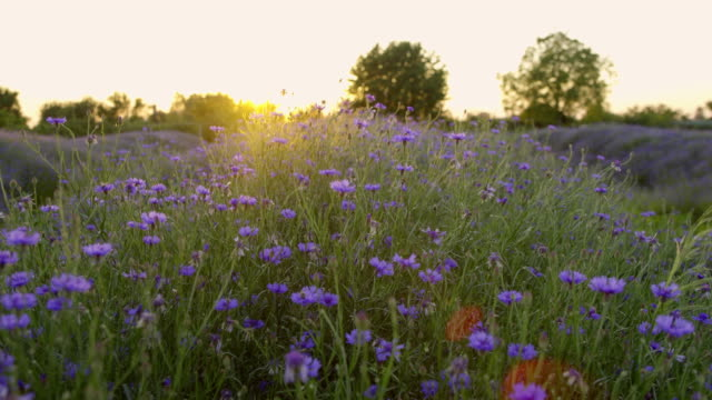 ds cornflowers at sunset - wildflower stock videos & royalty-free footage