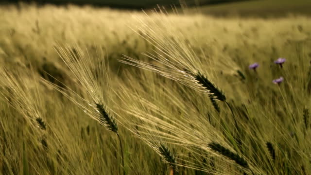 cornflowers in a field of barley move with the wind. - orzo video stock e b–roll
