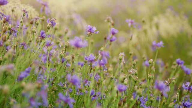 ds cu cornflowers - slovenia meadow stock videos & royalty-free footage