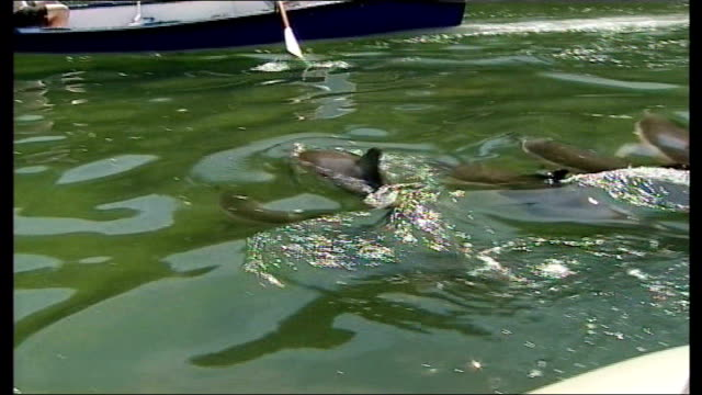 explanations sought england cornwall loe beach ext striped dolphins swimming in shallow waters and volunteers along in motorboat including reporter... - dolphin stock videos & royalty-free footage