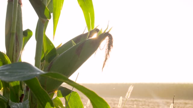 cu ds corns on the cob - ripe stock videos & royalty-free footage