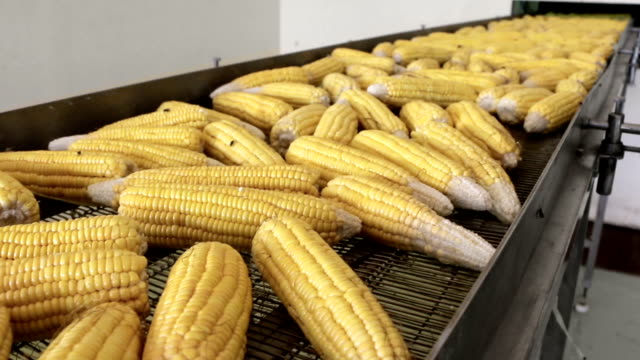 corns transmitted on conveyor belt - belt stock videos and b-roll footage