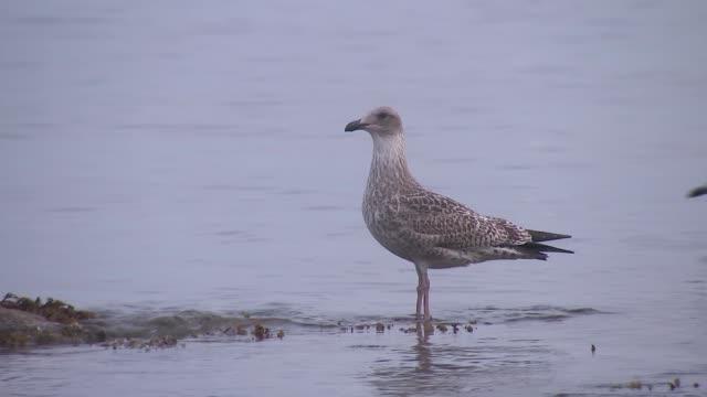 Cornwall beach Gulls on beach / cargo style ship / coastline and beach with birds / waves lapping on pebble beach