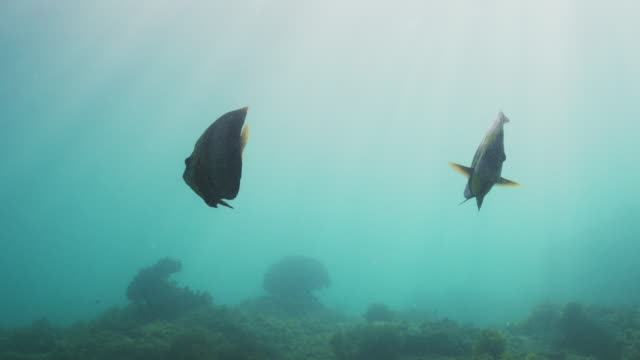 cortez angelfish in slow motion - angelfish stock videos & royalty-free footage