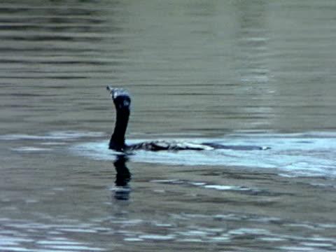 cortmorant bird swimming on top of water underwater ws cormorant bird diving down swimming underwater - water bird stock videos & royalty-free footage