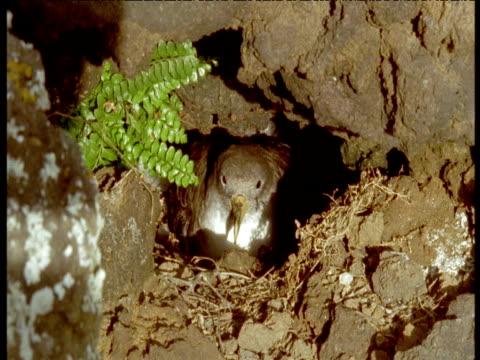 cory's shearwater sat on nest, azores - 大西洋諸島点の映像素材/bロール