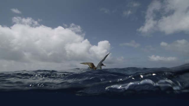cory's shearwater takes off from blue sea, azores - cartilagine video stock e b–roll