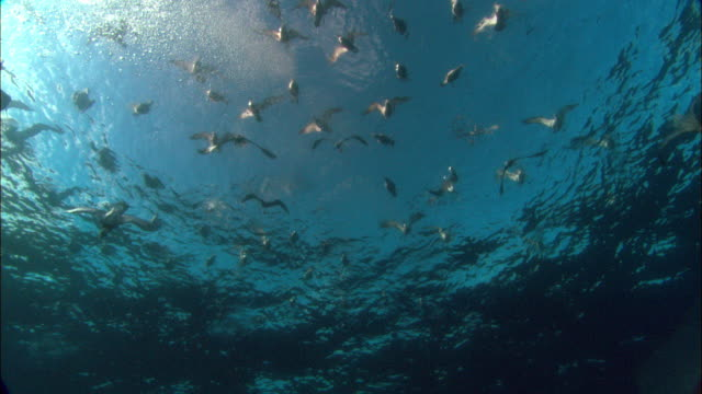cory's shearwaters (calonectris diomedea) attack mackerel scad (decapterus macarellus) bait ball from ocean surface, azores, atlantic ocean - sea bird stock videos and b-roll footage