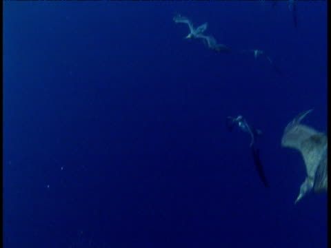 cory's shearwaters dive and feed underwater with dolphins, azores - 大西洋諸島点の映像素材/bロール