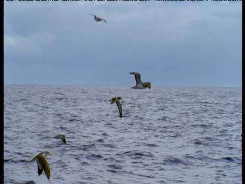 cory's shearwaters fly over ocean, azores - north atlantic ocean stock videos & royalty-free footage