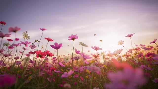 Cosmos blooming at dusk, beautiful butterflies flying around