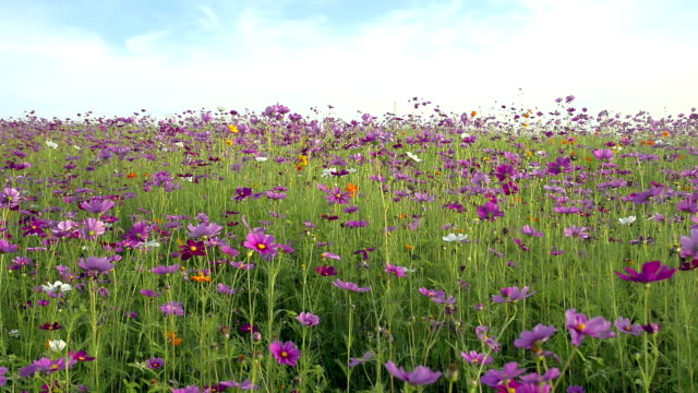 Cosmos field and blue sky
