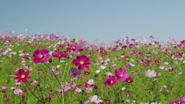 cosmos field at uchiyama farm - 秋点の映像素材/bロール