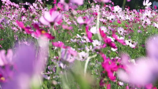 vidéos et rushes de cosmos field breeze - culture agricole