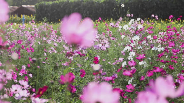 Cosmos field in breeze