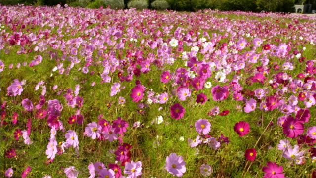 cosmos field - wildflower stock videos & royalty-free footage