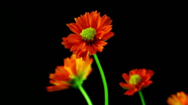 cosmos flower blooming ,time lapse - chrysanthemum stock videos & royalty-free footage