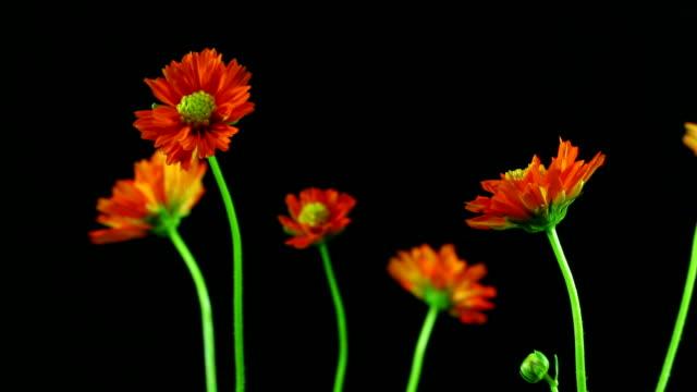 cosmos flower blooming zoom ,time lapse - chrysanthemum stock videos & royalty-free footage