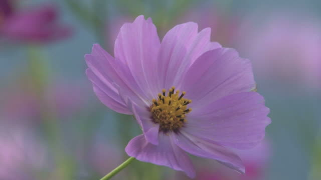 cu cosmos flower blowing in wind - fukuoka prefecture stock videos & royalty-free footage