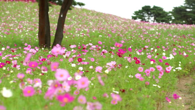 cosmos flower field in hitachi seaside park - month stock videos & royalty-free footage