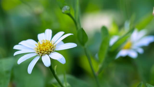 cosmos flower field - chrysanthemum stock videos & royalty-free footage