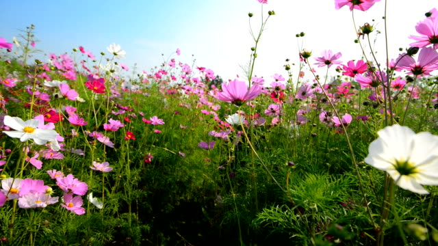 Campo de flor del Cosmos
