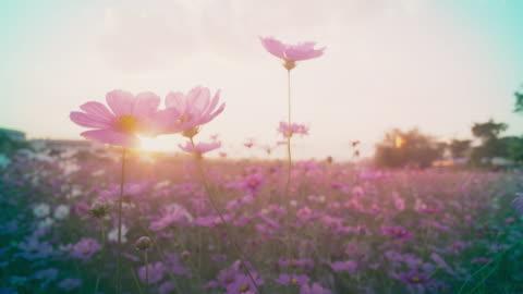 cosmos flower field - single flower stock videos & royalty-free footage