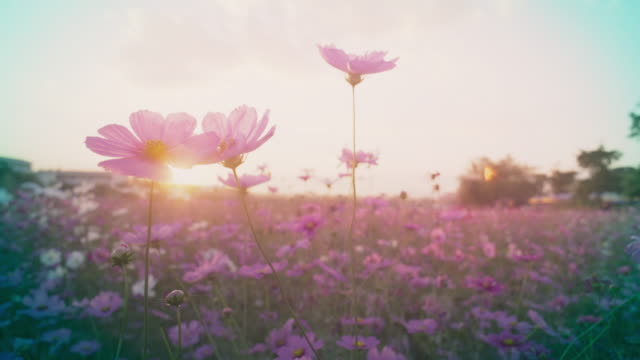 cosmos flower field - flower stock videos & royalty-free footage