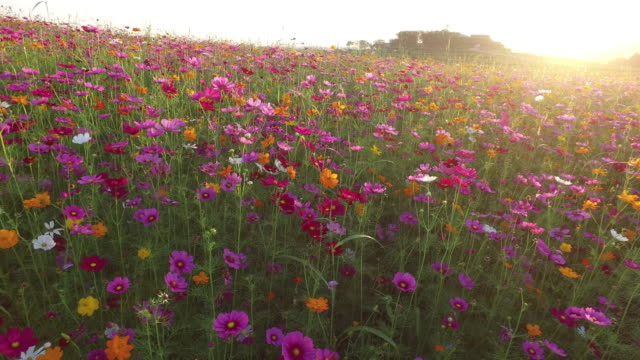 Cosmos flower fields at sunset