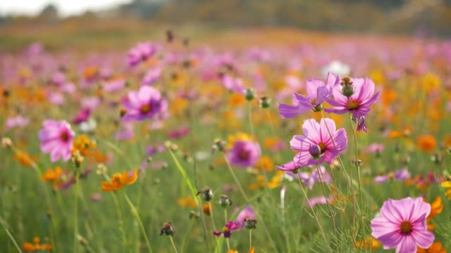 cosmos flower in field - meadow stock videos & royalty-free footage
